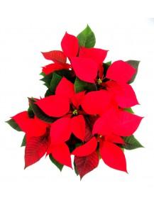 Pack 6  Flor Pascua  mcta 14  .  4/6 flores  ENTREGA EN 24 HORAS.  DISPONIBLE SOLO PARA MADRID