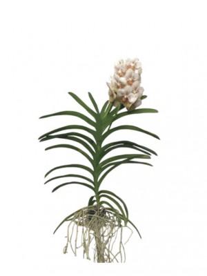 Orquídea Vanda blanca