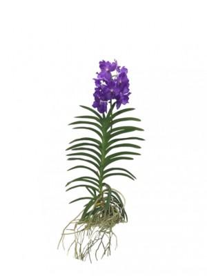 Orquídea Vanda morada
